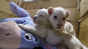 Orsi bruni e leoni bianchi: cuccioli in libera uscita