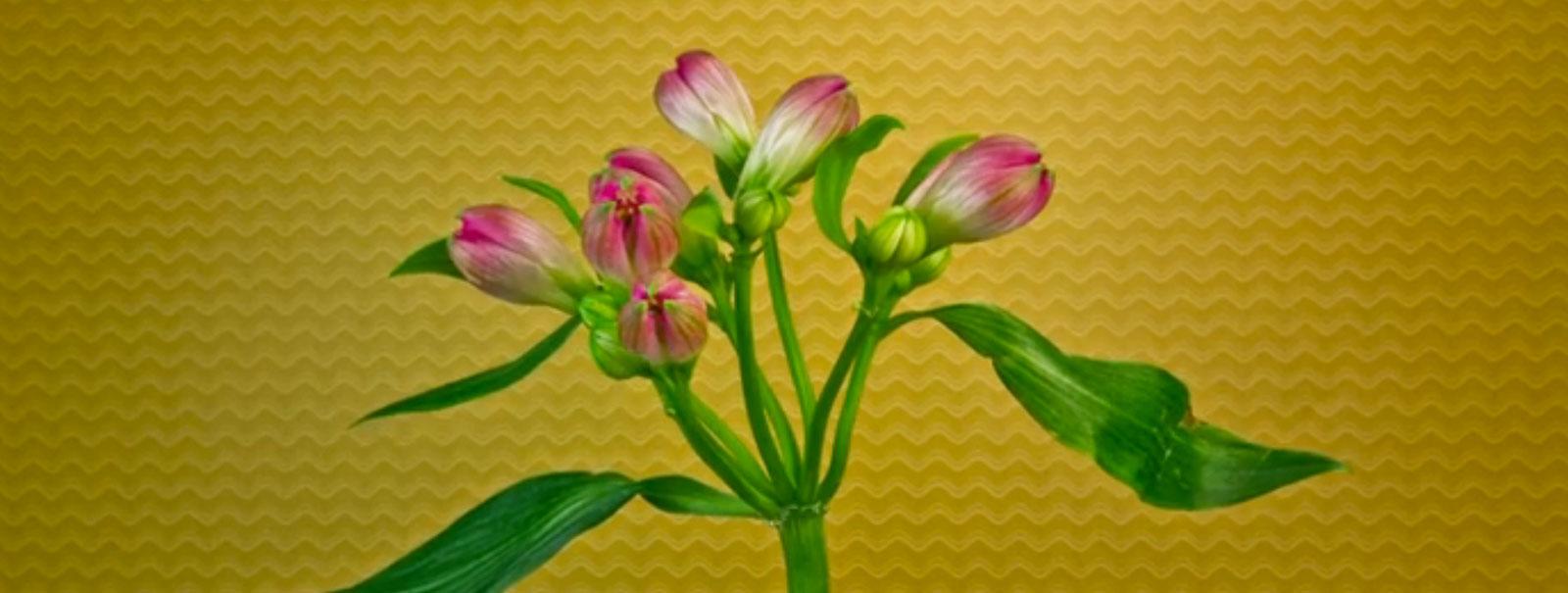 Primavera guarda i fiori che sbocciano in hd cond for Fiori che sbocciano
