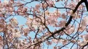 Hanami & Sakura: a Tokyo si celebra la Primavera