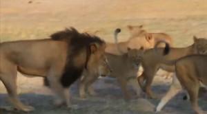 Ucciso dai bracconieri Cecil, il leone simbolo dello Zimbabwe