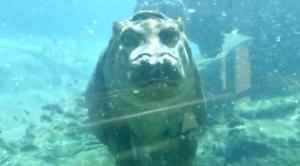 Piccoli ippopotami crescono