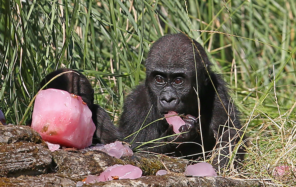 Western lowland gorillas Alika,19 months, (right) and Gernot, 8 months, (left), eat a fruit tea ice block with hazelnuts at London Zoo, to help cool off, as Britain's mini-heatwave is set to continue with a day of tropical temperatures ahead of a night of torrential thunderstorms expected to bring nearly a month of rain. PRESS ASSOCIATION Photo. Picture date: Tuesday July 19, 2016. Swathes of England and Wales are forecast to bake in temperatures clear of 30C (86F) on Tuesday while the mercury rises to 29C (84F) in Scotland and 28C (82F) in Northern Ireland. See PA story WEATHER Hottest. Photo credit should read: Philip Toscano/PA Wire